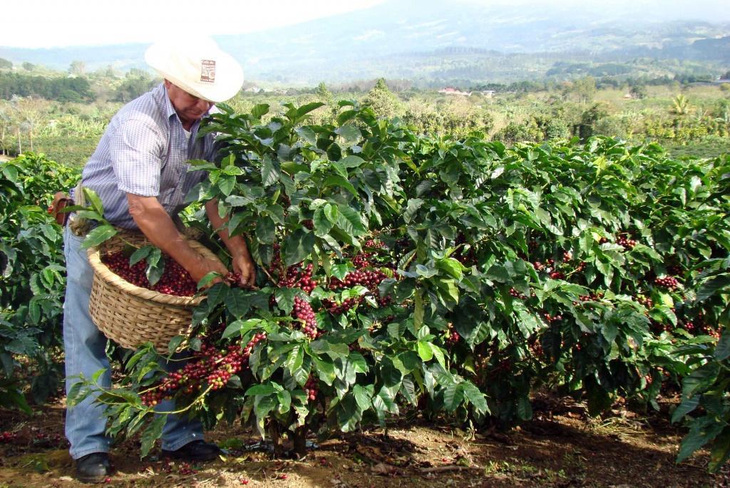плоды дерева сорта Супремо