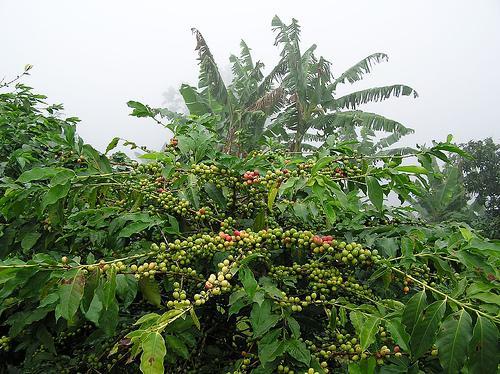 Зеленые плоды кофе сорта арабики каттура.